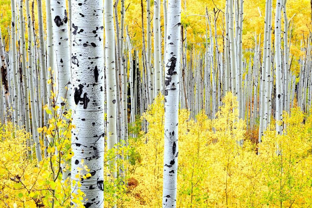 Aspen trees fall fall tree photo aspen tree decor Colorado