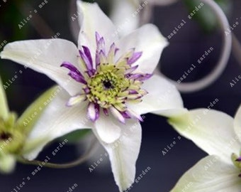 1 Bulbs Clematis Bulbs Chinese Lianas (Not Seeds) -Variety 8