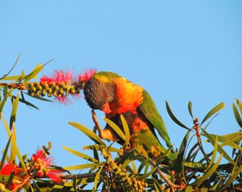 Lorikeet in Wattle Tree 2