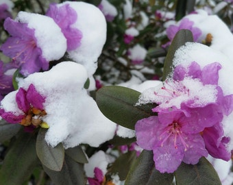 Purple Spring blossoms with snow.