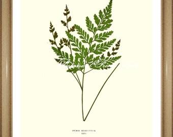 "Fern Print No.22. Anemia. Victorian Fern Print. Fern Art. Botanical Wall Art, Ferns 5x7"", 8x10"", 11x14"""