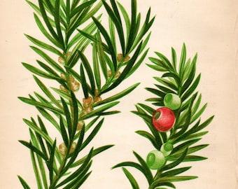 Original 1860 Victorian Flower Plant Print Botanical Chromolithograph - Common Yew