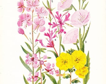 1927 Flower Print - Evening Primrose Family - Vintage Antique Home Decor Botany Plant Art Illustration for Framing