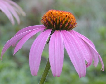 Echinacea Purpurea Heirloom Medicinal Herb Seeds Non-GMO Naturally Grown Open Pollinated Gardening