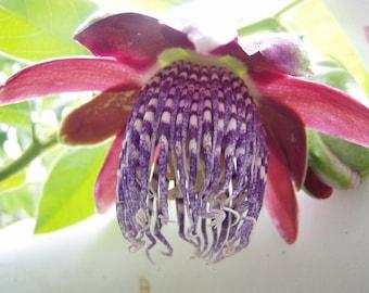 Passiflora quadrangularis Giant Tumbo 10 seeds