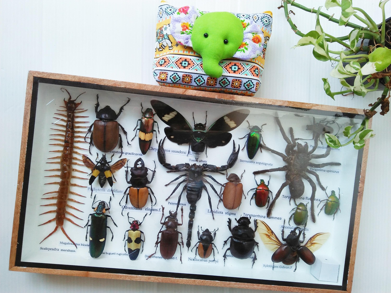 Seltene echte Insekten Bug Bugs gerahmt Display Box Horn