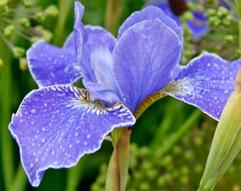 Siberian Iris Silver Edge - Award Winner - 3 Plants