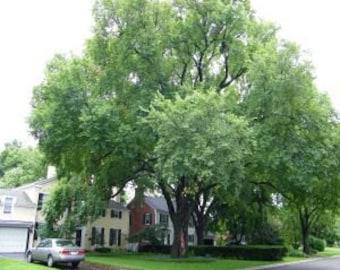 1000 American Elm Tree Seeds, Ulmus Americana