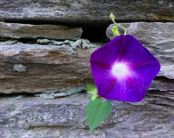 Morning Glory digital image free use