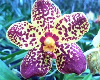 Ascda. Kalapana Delight 'Sunrise' - Live Blooming Size Vanda Orchid Plant