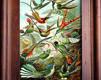 Framed Vintage Print Hummingbird Illustration