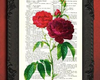 Red rose illustration vintage antique rose print