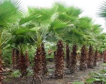 5 Mexican Fan Palm Seeds-1086