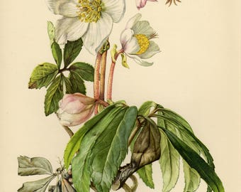 Vintage lithograph of the Christmas rose or black hellebore from 1954