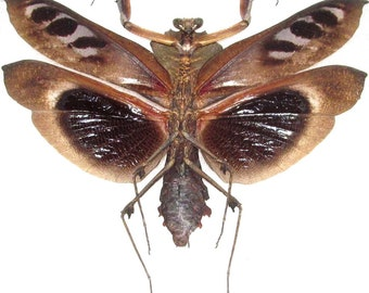 ONE real praying mantis deroplatys dessicata black death mantis dark form male wings spread mounted