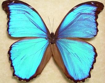 Morpho Menelaus Alexandrovna Real Giant Blue Morpho Framed Butterfly 8110