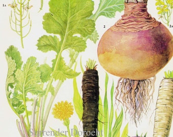 Turnip Parsnip Rutabaga Root Vegetable Food Botanical Lithograph Illustration For Your Vintage Kitchen 173