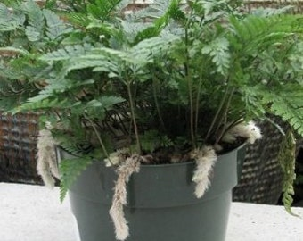 "White Rabbit's Foot Fern 4"" pot - Humata tyermanii (FREE SHIPPING)"