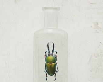 8x12 Sawtooth Beetle