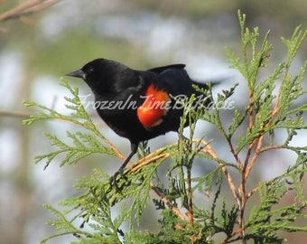 Red winged blackbird - Digital download photo