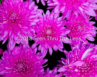 Pink Chrysanthemums - Photographic Print