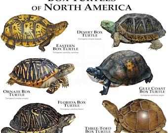 Box Turtles of North America