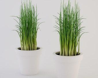 """LIVE 2 Chives Herb Live Plants Fit 3.5"""" Pot"""