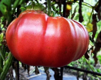 Dutchman Tomato Heirloom Garden Seed  Naturally Grown Open Pollinated 30+ seeds Gardening