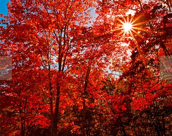 Autumn Scarlet Red Trees Photography Autumn Nature Fine Art Photography Print Colorful Autumn Leaves Wall Art Decor