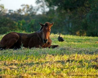 Resting Foal, Close Up, Nature Photograph, Baby Animals, Nursery Picture, 9X6 Photograph, Home Decor