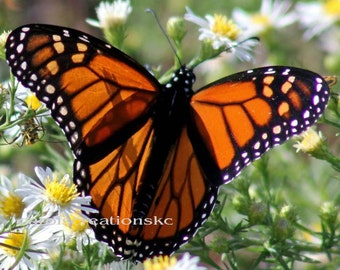 Nature Photography - butterfly, orange & black, flower, wings, migrate, insect, close up, larvae, monarch