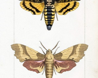 Digital Image  Deaths Head Moth, Sphinx , Nerii, Ligustri Moths Three You Print Digital Image Prints 4 x 6.5