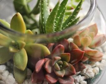 Succulent Terrarium, Succulent Arrangement, REAL LIVE PLANTS