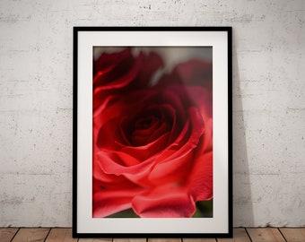 Red Rose   Botanical   Flower   Photo Print