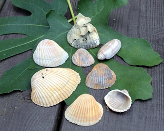 Beach Shell Collection, Sea Shell, Hand Picked, Clam, Oyster, Mollusk, Olive shell. Beach Decor