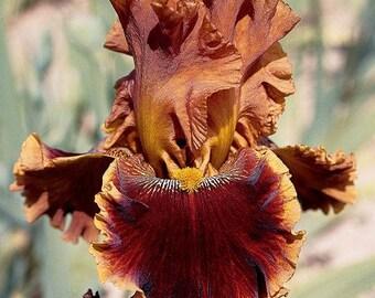 Copatonic, Tall Bearded Iris