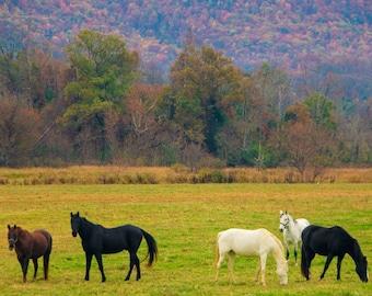 Horses in field at Cades Cove Fine Art Print