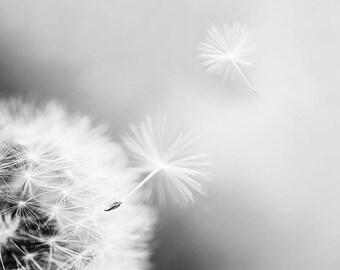 black and white photography dandelion decor dandelion wall art 8x10 11x14 art photography floral art nursery decor black  white art print
