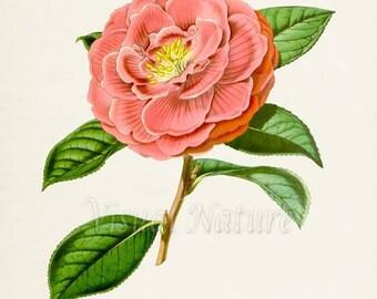 Camellia Flower Art Print, Botanical Art Print, Flower Wall Art, Flower Print, Floral Print, Home Decor, pink