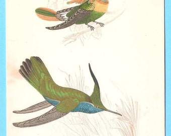Antique hand tinted humming bird illustration