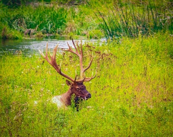 A Large Bull Elk Enjoys Some Down Time.