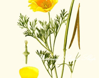 "California Poppy. Poppy Print #3. State Flower of California. Botanical Print. 5x7"", 8x10"" 11x14"""