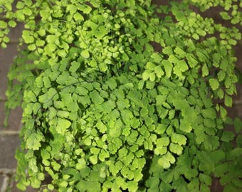 LIVE Maidenhair Fern aka diantum Raddianum Live Plant Fit 1 Gallon Pot