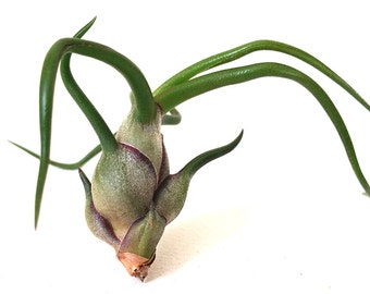 1 bulbosa tillandsia air plant