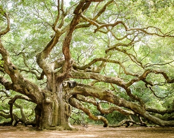 """Angel Oak, Charleston Art, Oak Tree Print, Live Oak Tree, Low Country Landscape, Nature Photography, Green Wall Decor, Tree - """"Angel Oak 2"""""""