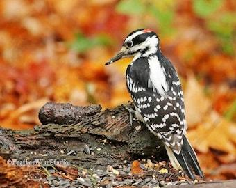 Hairy Woodpecker Photo | Autumn Yard Bird Photography | Nature Wall Decor | Black and White Bird Art | FeatherWindStudio | Wood Pecker Print