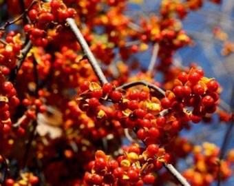 American Bittersweet Vine-Celastrus Scandens *  10 Seeds Perennial!! ...seeds galore