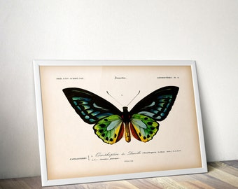 Butterfly print, Instant download vintage insect print, Butterfly wall art, Scientific illustration, Entomology print, 8x10, 11x14 printable