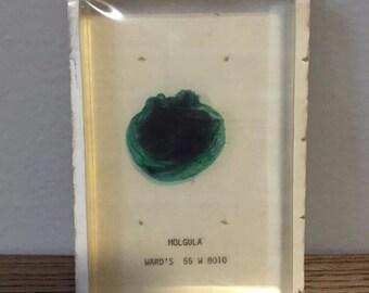 Rare Vintage Ward's Science Acrylic Preserved Sea Grape Molgula Specimen