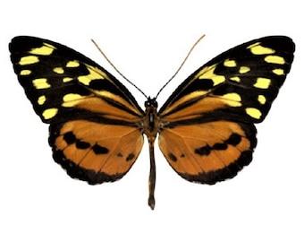 One Real Day Flying Moth Orange Yellow Tithorea harmonia El Salvador